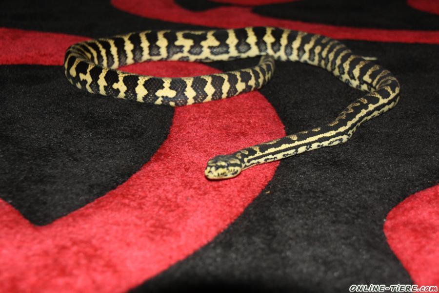 Kein Inserat in Reptilien Reptilien zu verkaufen 7671