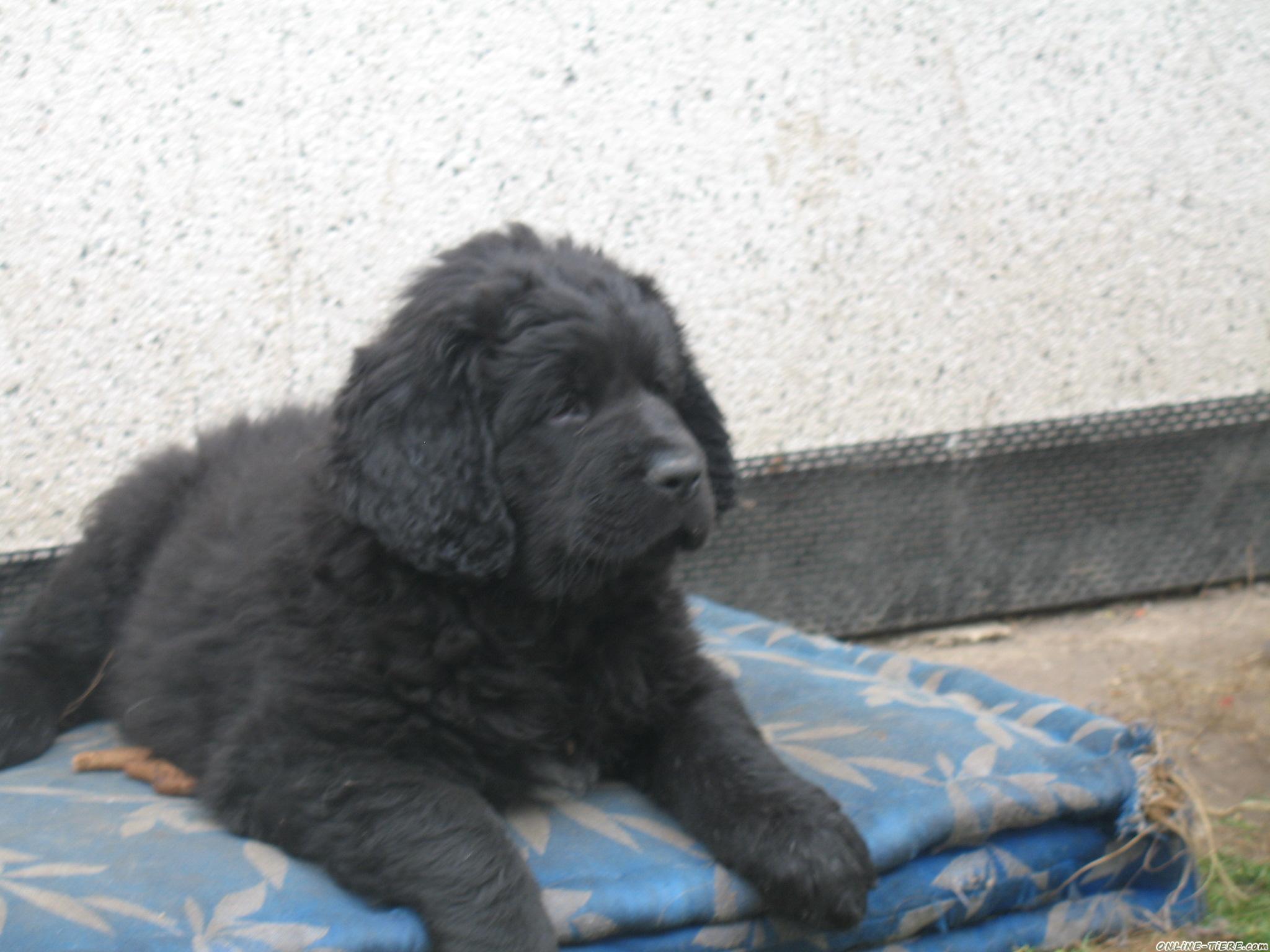 Neufundlander Mix 06231 Bad Durrenberg Hunde Zu Verkaufen 4283