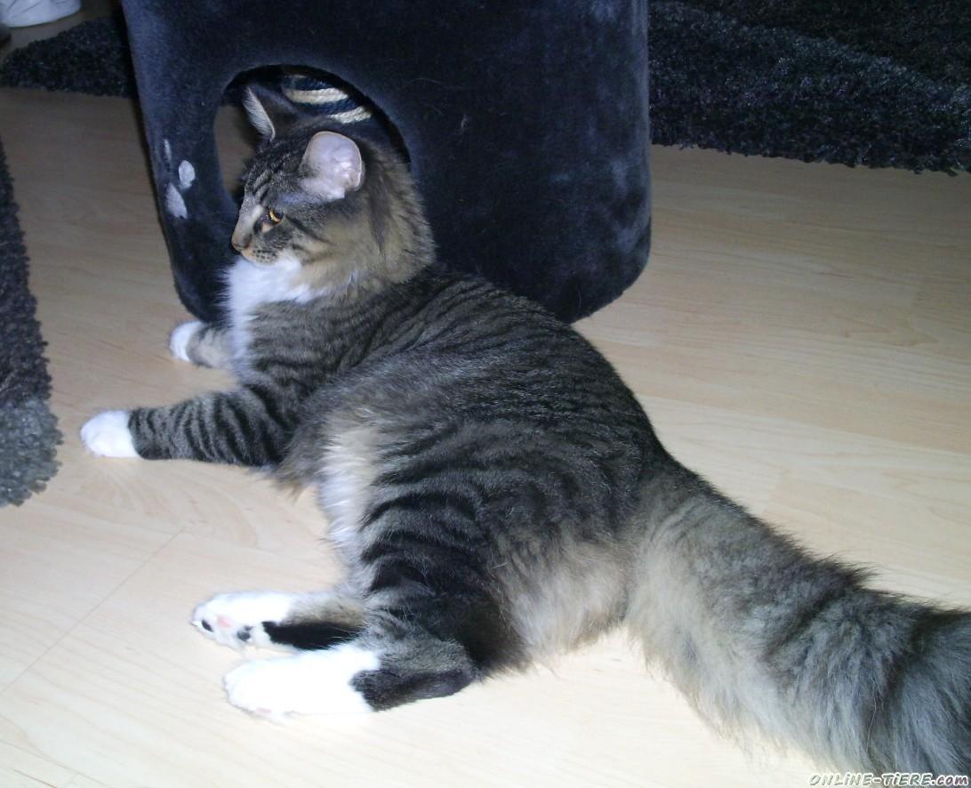 pin aus waldkatze und maine coon main sind norwegische waldkatzen on pinterest. Black Bedroom Furniture Sets. Home Design Ideas