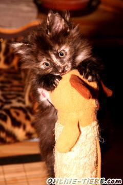 Biete Norwegische Waldkatzen