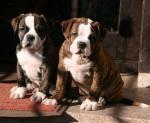 Biete Olde English Bulldogge