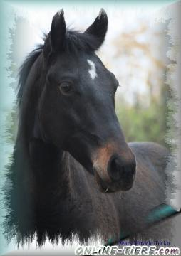 Biete Paint Horse