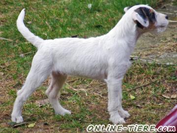 Biete Parson Russell Terrier