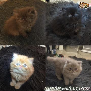 Biete Persische Kätzchen