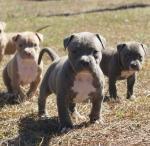 Biete Pit Bull Terrier