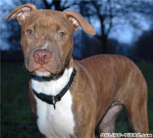 Red Nose Pitbull On Steroids