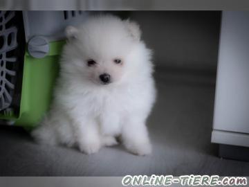 Biete Pomeranian