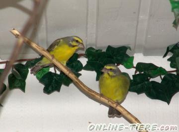 Biete Prachtfinken/Exoten