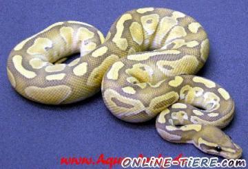 Biete Python regius Ghost und Butterghost von 2011!!!