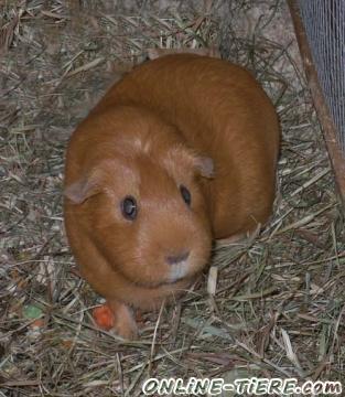 Biete Rassemeerschweinchen Glatthaar Rot