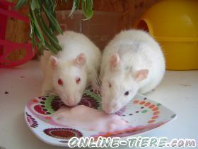 Biete Ratten, Käfig