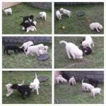 Biete Reinrassig Labradorwelpen