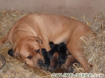 Biete Rottweiler/Bordeauxdogge Welpen
