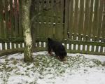 Biete Rottweiler