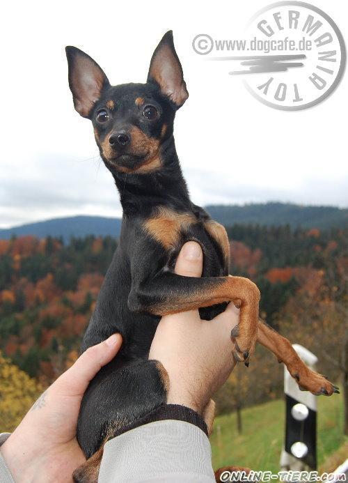 Russischer Toy Terrier Welpe Zu Verkaufen 77656 Offenburg