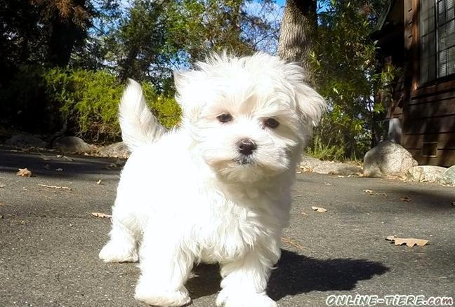 Dog Puppies For Sale In Bay Area