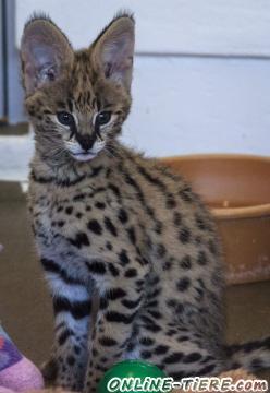 Biete Savannah-Serval
