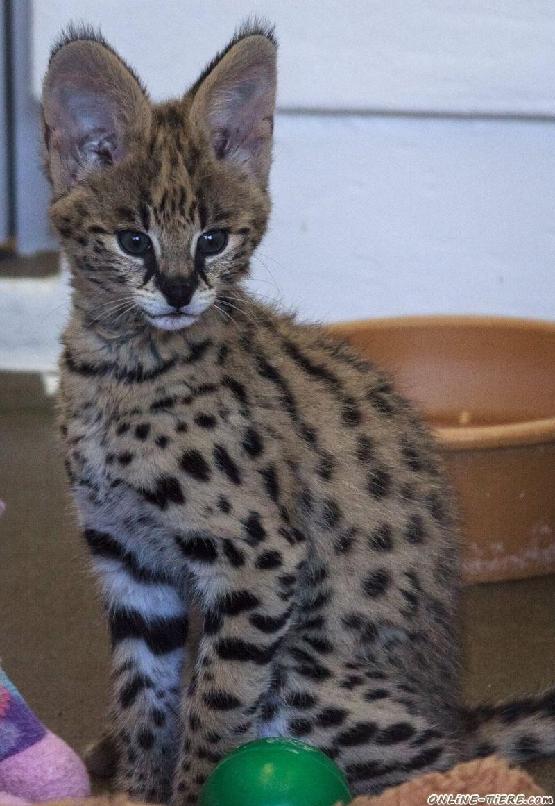F1 Savannah Kätzchen zur Verfügung 65933 Frankfurt Katzen zu ...