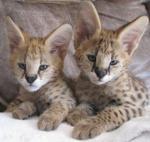 Biete Serval Kitten