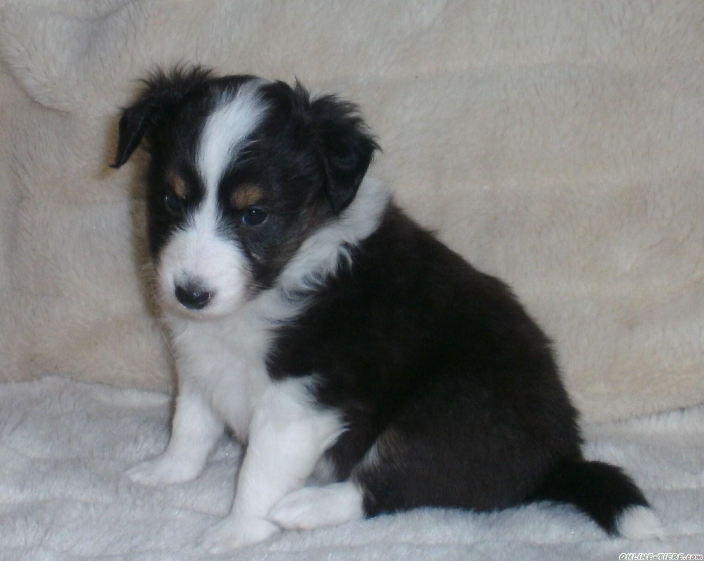 Zauberhafte Sheltie H 252 Ndin In Tricolour 57537 Wissen Hunde Zu Verkaufen 6485 Kleinanzeigen