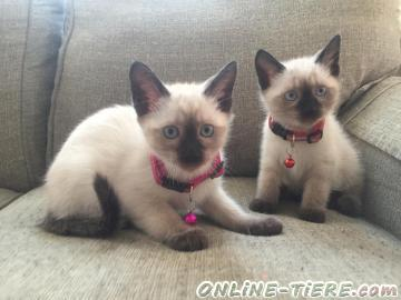 Biete Siamse Kätzchen