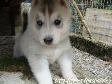 Biete Siberian-Husky Welpe Rüde