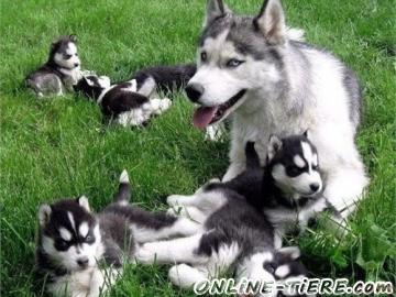 Biete Siberian Husky