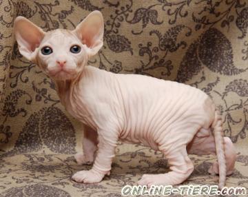 Biete Sphynx Katze