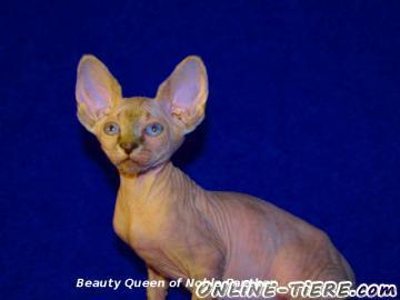 Biete Sphynx Kitten