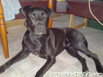 Stafford Labrador Mix Sucht Neues Zuhause 06279 Schraplau Hunde Zu Verkaufen 3392 Kleinanzeigen