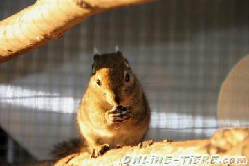 Biete Streifenhörnchen