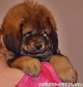 Biete Tibet Dogge (Do Khyi) Welpen