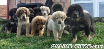 Biete Tibet Dogge - Do Khyi