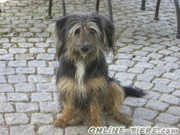 Biete Tibet-Terrier-Mischling