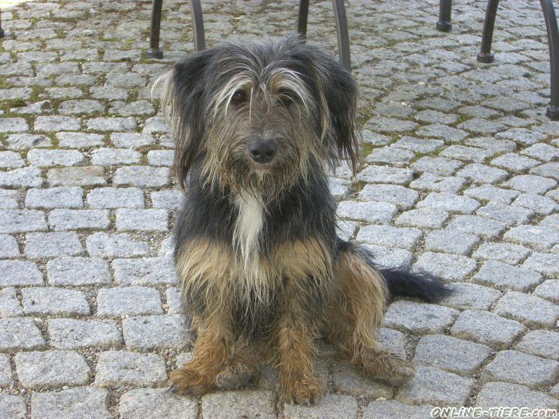Biete tibet terrier mischling
