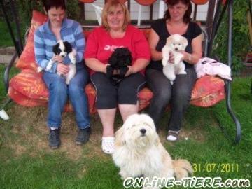 Biete Tibet-Terrier-Mischlinge