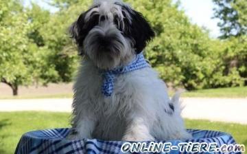 Biete Tibet Terrier