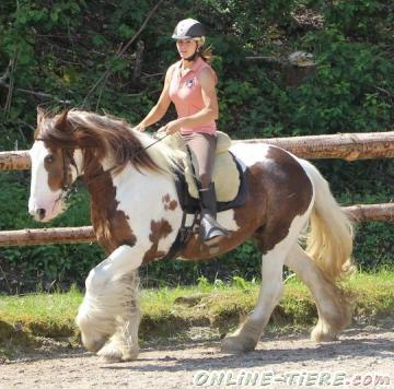 Biete Tinker Pferde