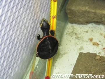 Biete Verk. Wasserschildkröten Emydura subglobosa (Rotbauchspitzkopfschildkröten) Nachzuchten von 2012.