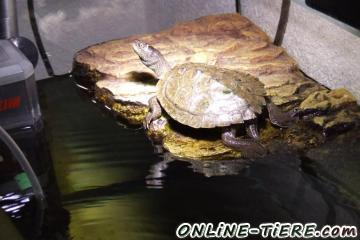 Biete Wasserschildkröten - Höckerschildkröten