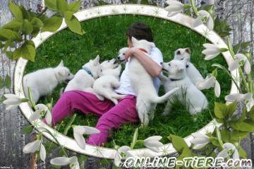 Biete Weißer Schweizer Schäferhund