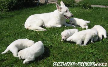 Biete Weisse Schweizer Schäferhunde