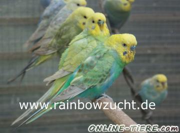 Biete Wellensittich, Rainbow Wellensittich