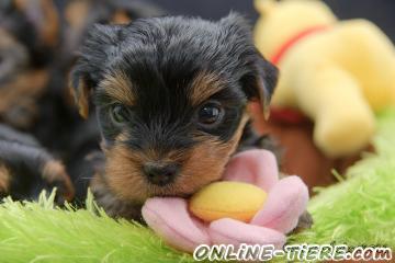 Biete Yorkshire Terrier
