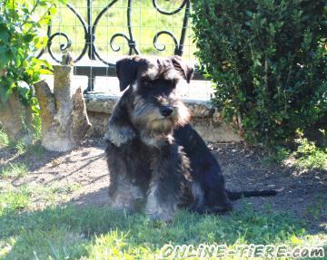 Agiler Zwergschnauzer 94550 K 252 Nzing Hunde Zu Verkaufen 8113 Kleinanzeigen