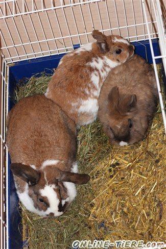 3 kaninchen abzugeben 78532 tuttlingen kleintiere zu. Black Bedroom Furniture Sets. Home Design Ideas